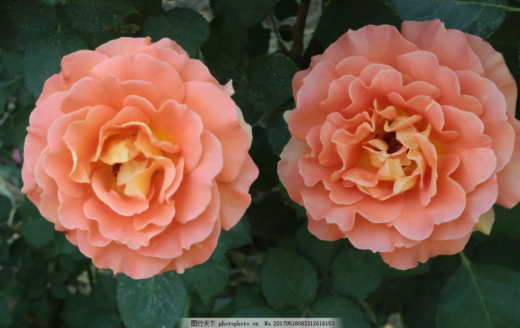 月季花 花骨朵 花卉 植物 园林绿化 绿化景观 花草 蔷薇 玫瑰