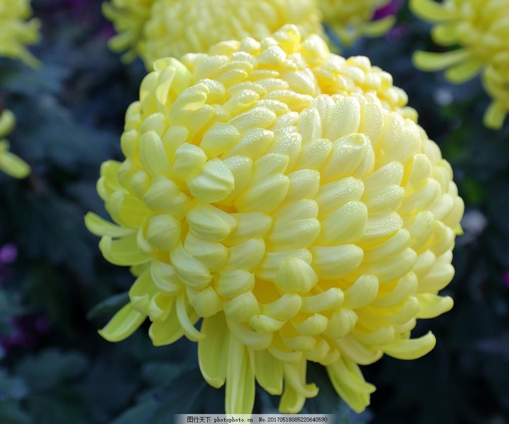 菊花 植物 花卉 黄菊 盛开 动物 摄影 生物世界 花草