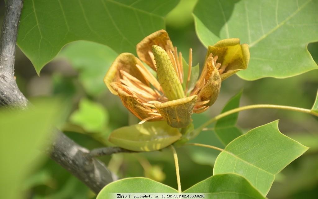 鹅掌楸的花 花卉 马褂木 花单生 枝顶 花冠 杯形 花淡黄绿色