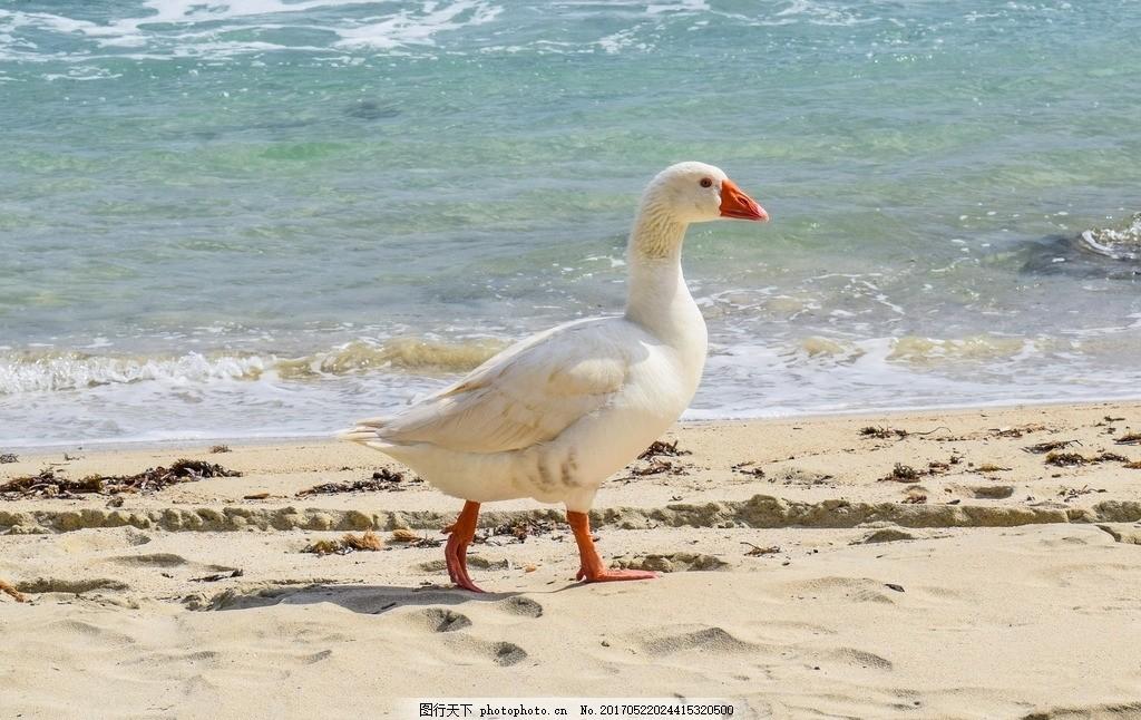 海边天鹅 鹅 海 鸟 动物 自然 海滩 摄影 生物世界 野生动物 300dpi
