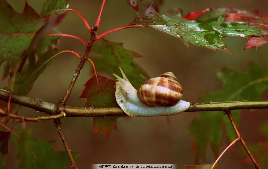 树枝山的蜗牛 小动物 蜗娄牛 水晶螺 驼包蜒蚰 爬行动物 软体动物