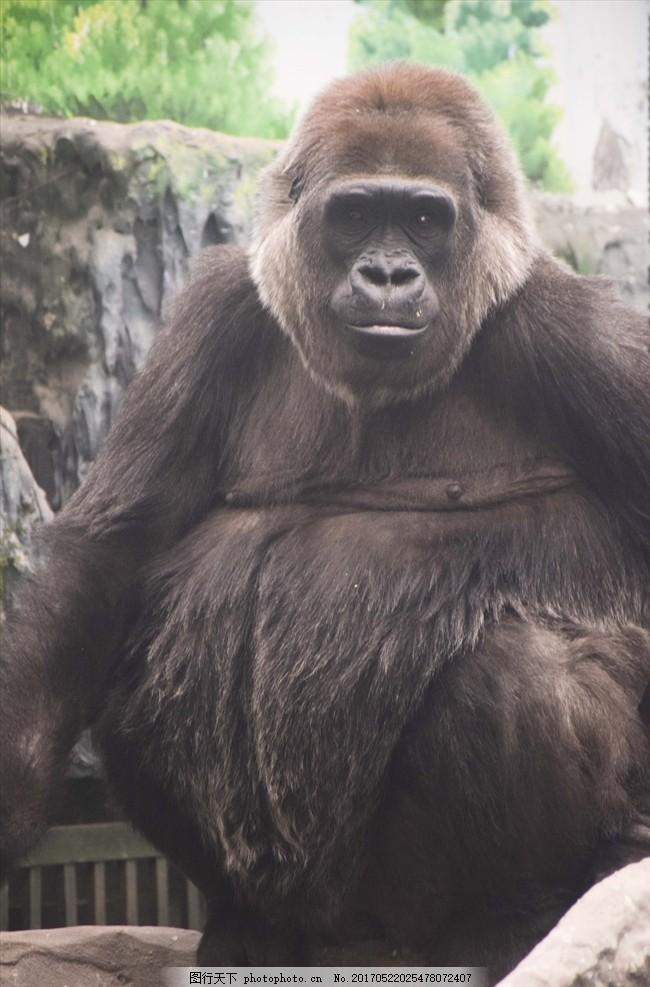 猩猩 大猩猩 超级大 动物园 动物 小朋友 星期天 开心 看动物 摄影 生
