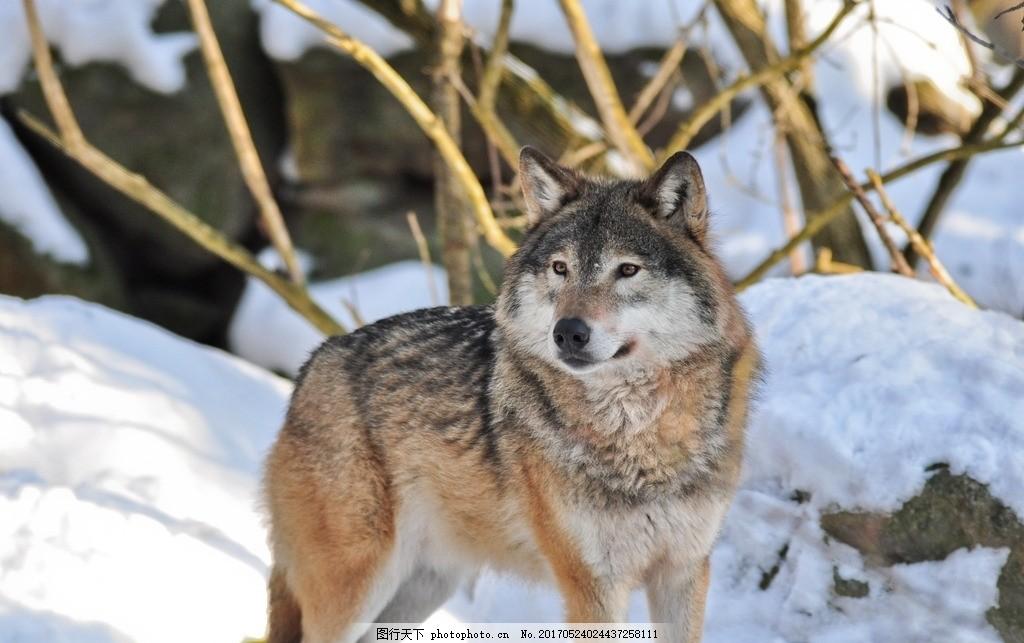 雪地野狼 大灰狼 森林狼 狼性 动物 哺乳动物 摄影 动物飞鸟昆虫禽类
