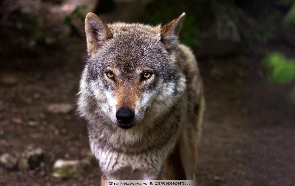 野狼 大灰狼 森林狼 狼性 动物 哺乳动物 摄影 动物飞鸟昆虫禽类