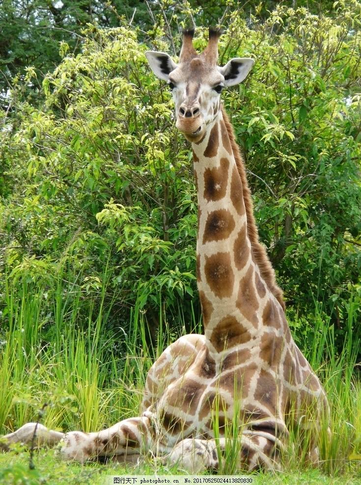 长颈鹿 野生动物 动物 保护动物 非洲大草原 狂野的非洲 摄影 素材