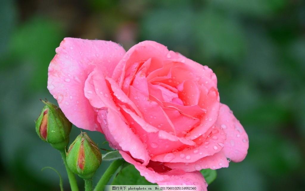 月季花 花骨朵 花卉 植物 园林绿化 绿化景观 蔷薇 玫瑰 花儿