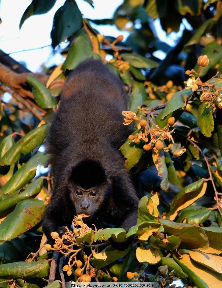 灵长目 小猴 哺乳动物 树叶 树木 动物 生物世界 野生动物 保护动物