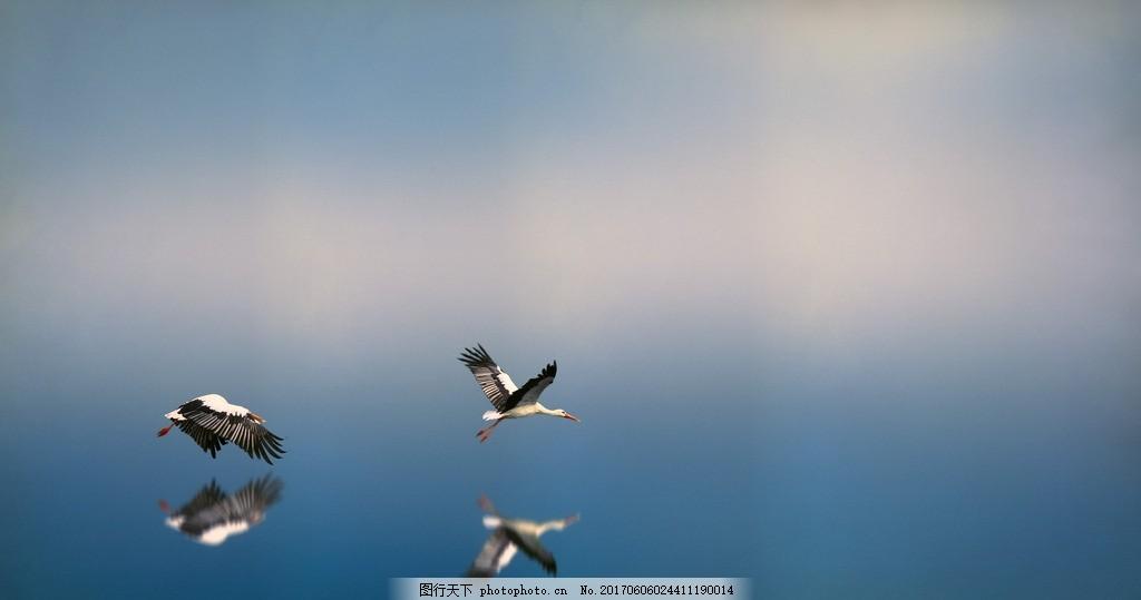 海鸟 湖面 倒影 水面 摄影素材 jpg 生物世界 摄影 生物世界 野生动物