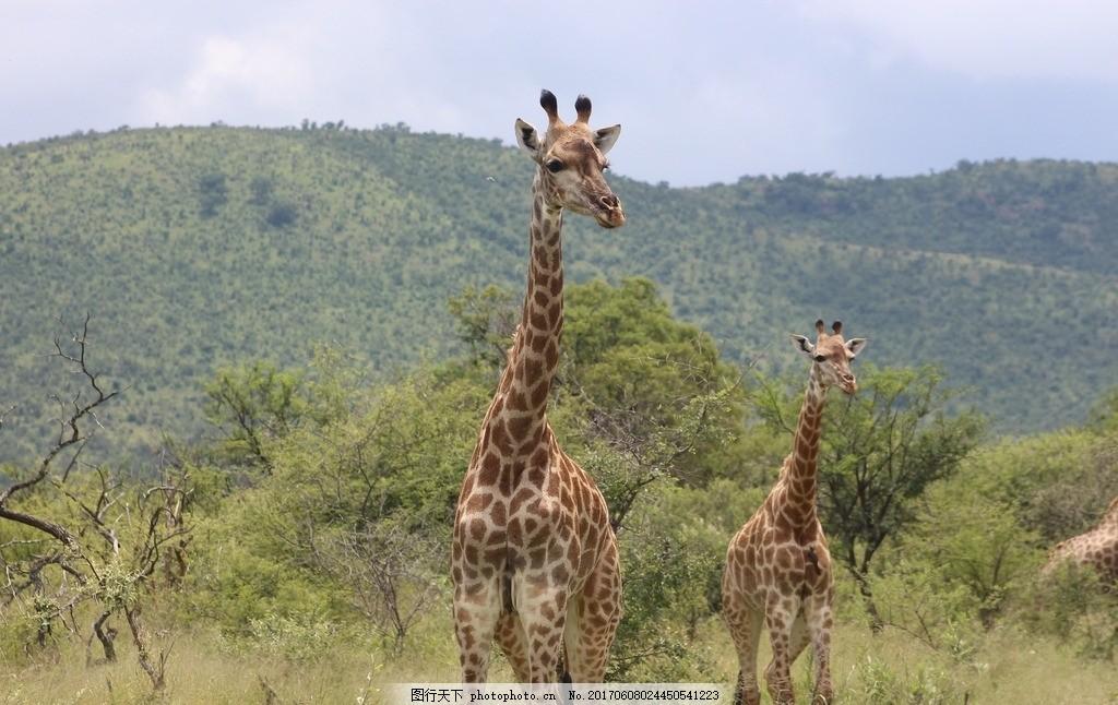 高清长颈鹿 两只长颈鹿 野生长颈鹿 长颈鹿 野生 非洲 反刍 偶蹄动物