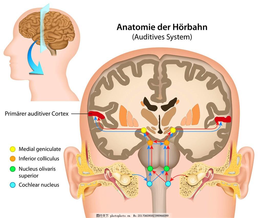 人体大脑结构图片