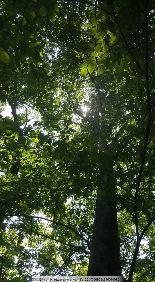 大树 树木 绿色 树影 阳光 参天大树 藤蔓 夏日 初夏 拐枣