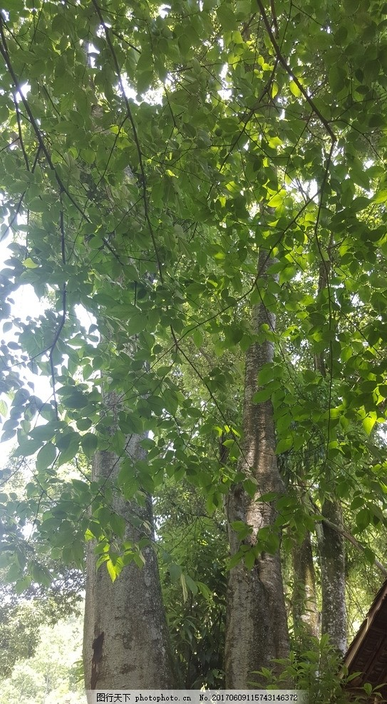 大树 树木 绿色 树影 阳光 参天大树 藤蔓 夏日 初夏 水青冈