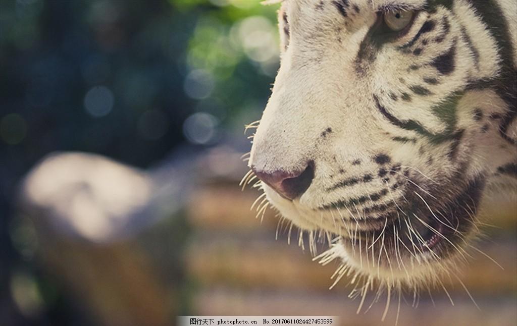 白老虎 白虎头 白老虎 虎头 特写 动物园 景深 动物 摄影 生物世界