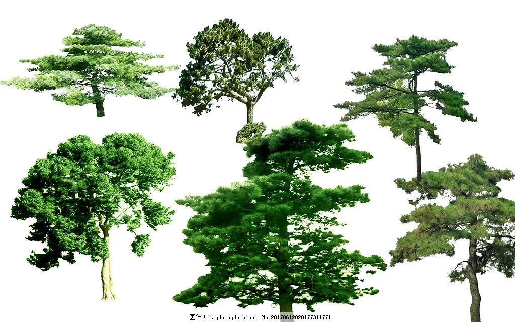 园林景观油松树psd素材