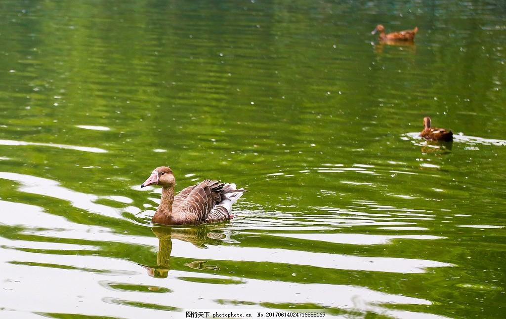 动物 鸭科 大雁 野鹅 动物园 摄影