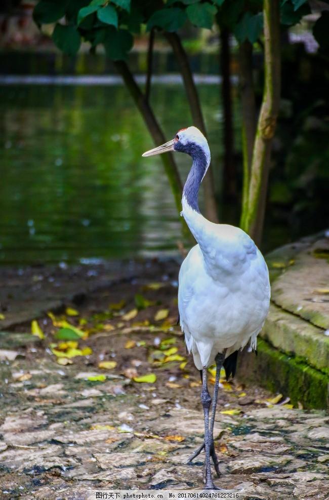 动物 丹顶鹤 仙鹤 鸟纲 鹤科 动物园 摄影