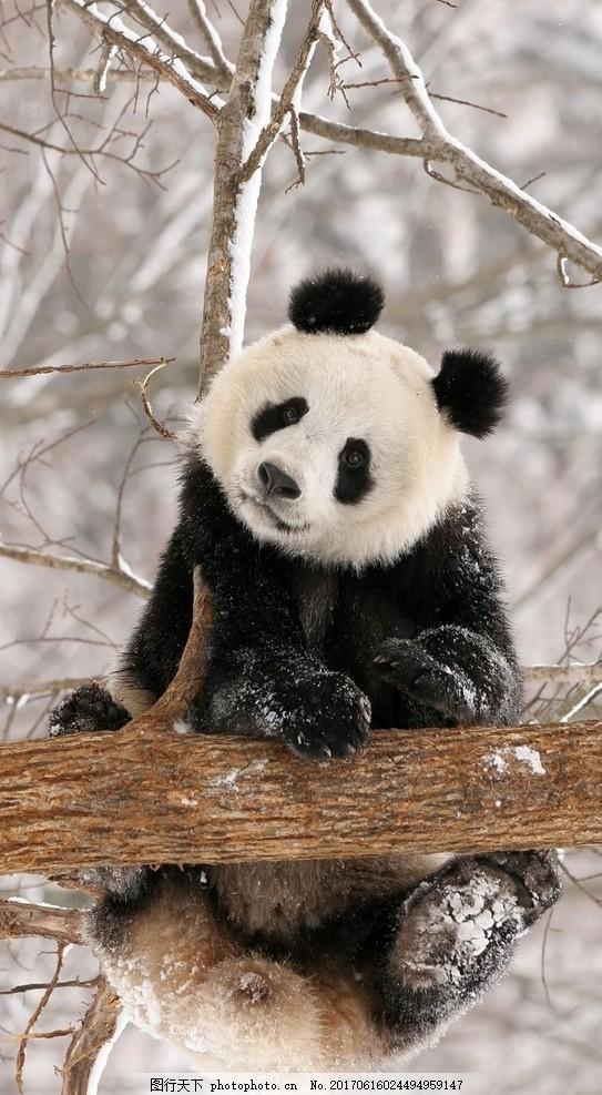 熊猫图 熊猫 树枝 雪景 壁纸 背景 摄影 生物世界 野生动物 72dpi jpg