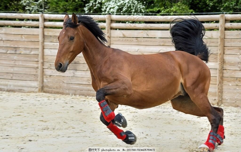 奔腾 奔驰 驰骋 马儿 马匹 骏马 野马 野生 棕色马 红棕马 马场 动物