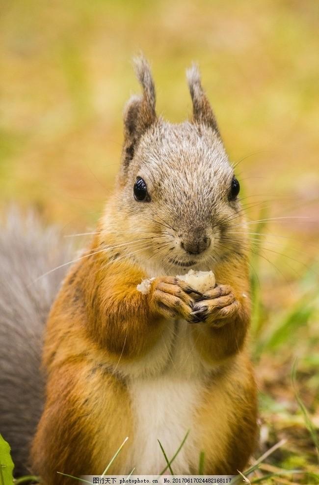 小松鼠觅食 可爱松鼠 呆萌松鼠 野生 哺乳动物 啮齿动物 摄影