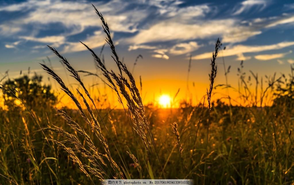 夕阳 黄昏 黄色 小麦 麦田 金黄色 麦穗 高清 风景 美景 自然