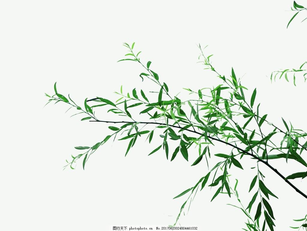 树枝 枝条 绿叶 叶子 柳树枝 竹叶 植物 树枝素材 绿叶素材图片