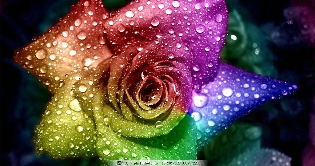 玫瑰花卉 水滴 黑色底纹 艳丽 摄影 自然景观 田园风光