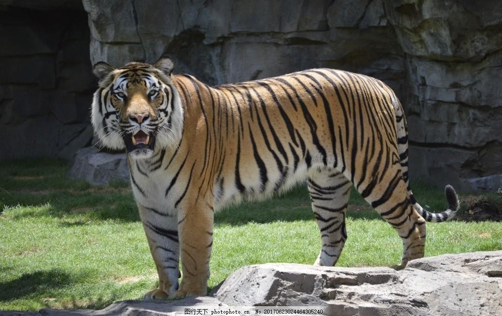 动物园豹老虎