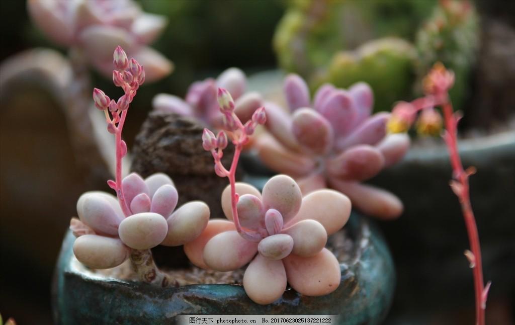 多肉 盆栽 肉肉 植物 多肉植物 盆景 多浆植物 花卉 摄影 生物世界