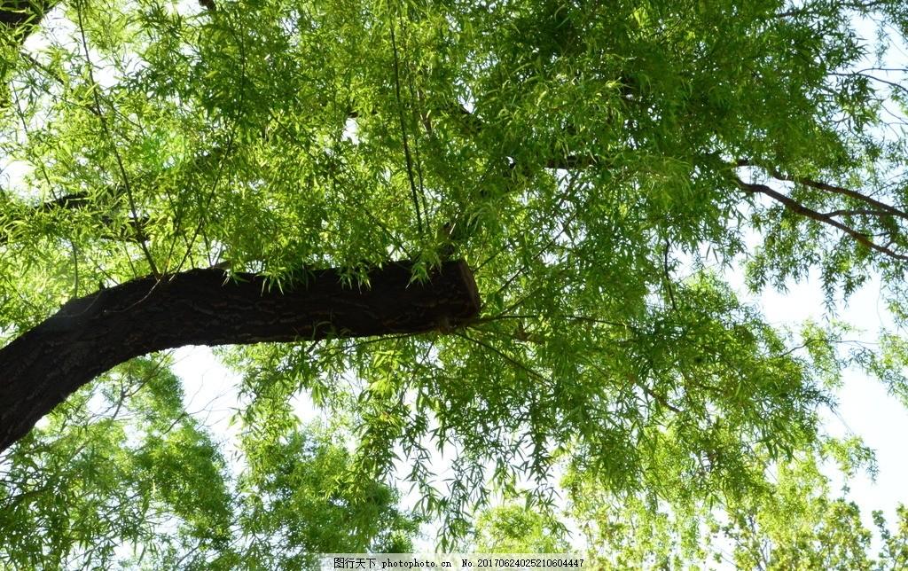柳树 柳条 园林风景 春芽 春天 树枝 自然景观 绿化景观 树木树叶