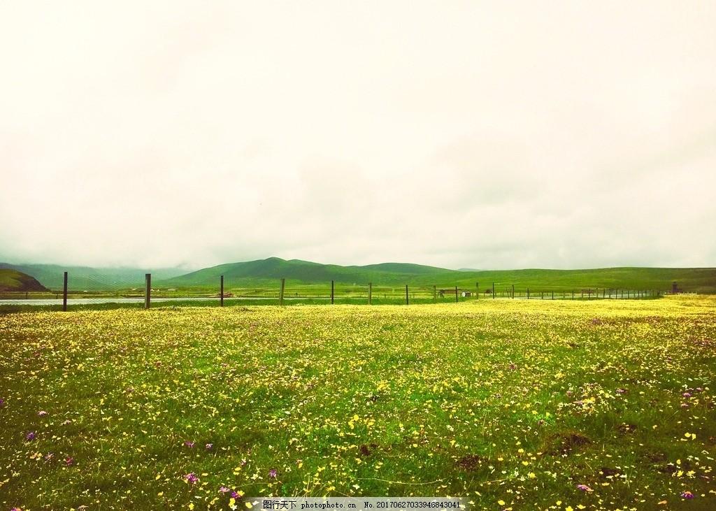 俄木塘 花海 高原 草原 川西 阿坝州 红原 野花 菊花 风景