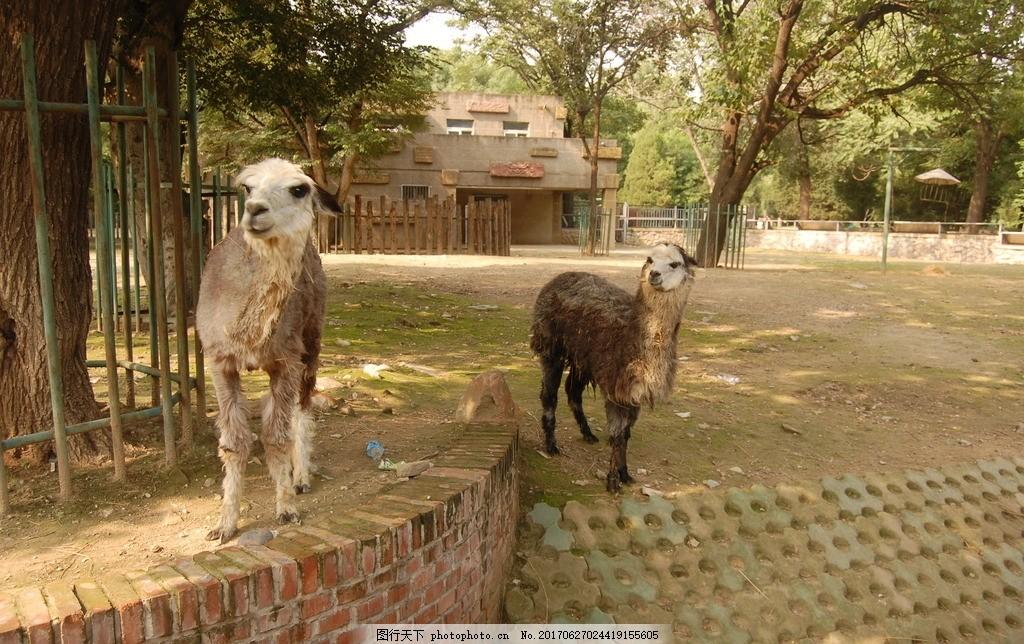 羊 绵羊 羊 绵羊 山羊 两只羊 动物 摄影作品 摄影 生物世界 野生动物